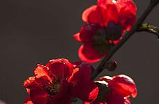 紅色海棠花圖片