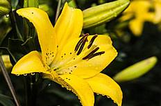 美丽的黄色百合花图片