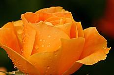 橘色玫瑰花图片