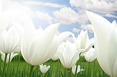 唯美白色百合花图片