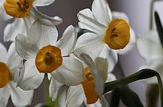 洁白的水仙花图片
