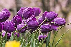 紫色郁金香花海图片