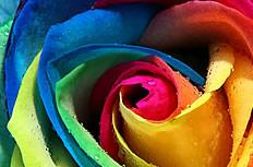 五彩玫瑰花图片