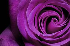 紫色玫瑰花图片