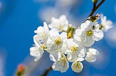 唯美白色樱花图片