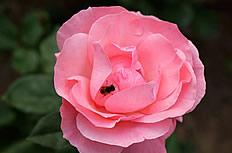 唯美粉色月季花图片