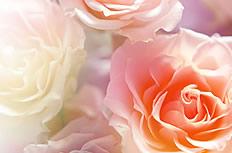 唯美粉色玫瑰花图片