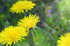 唯美黄色蒲公英花图片