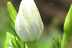 高清白色栀子花图片
