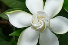 白色栀子花图片
