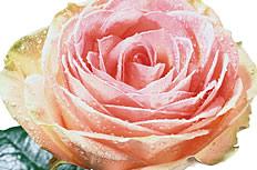 美丽的粉色玫瑰花图片