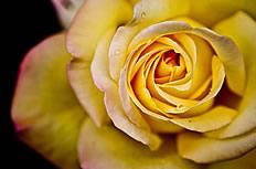 唯美黄色玫瑰花图片