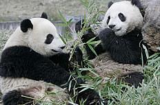 野生大熊貓圖片