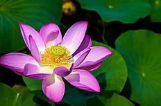 美丽的莲花图片