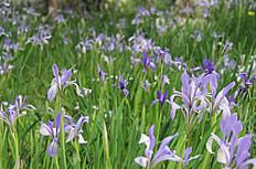 唯美紫羅蘭花圖片