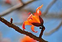 红色木棉花图片
