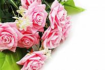 粉色月季花图片