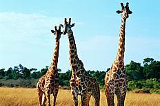 三只长颈鹿高清图片素材