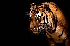 老虎图片素材(2P)