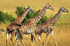 长颈鹿高清图片素材