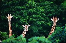 森林中三只长颈鹿图片素材